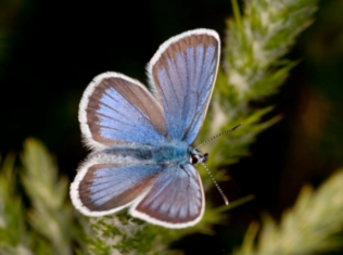 Silver studded blue (male)
