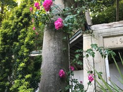 Climbing rose over damage