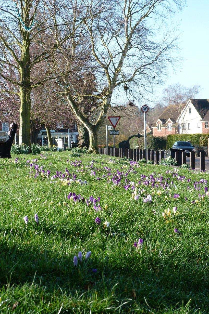 Horsmonden Parish Council Crocus bulb planting
