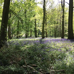 Bluebell wood - Hurstbourne Hill