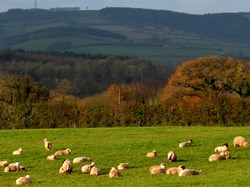 Sheep grazing at Triscombe