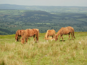 Horses on the Brown Clee