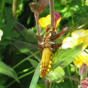 Dragonfly taken by T Angove