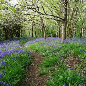 A Swath of Bluebells