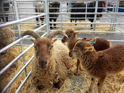 Swaffham Town Council Sheep Fair Attractions