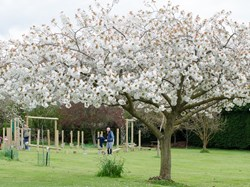 Trees in blossom at Southons Field
