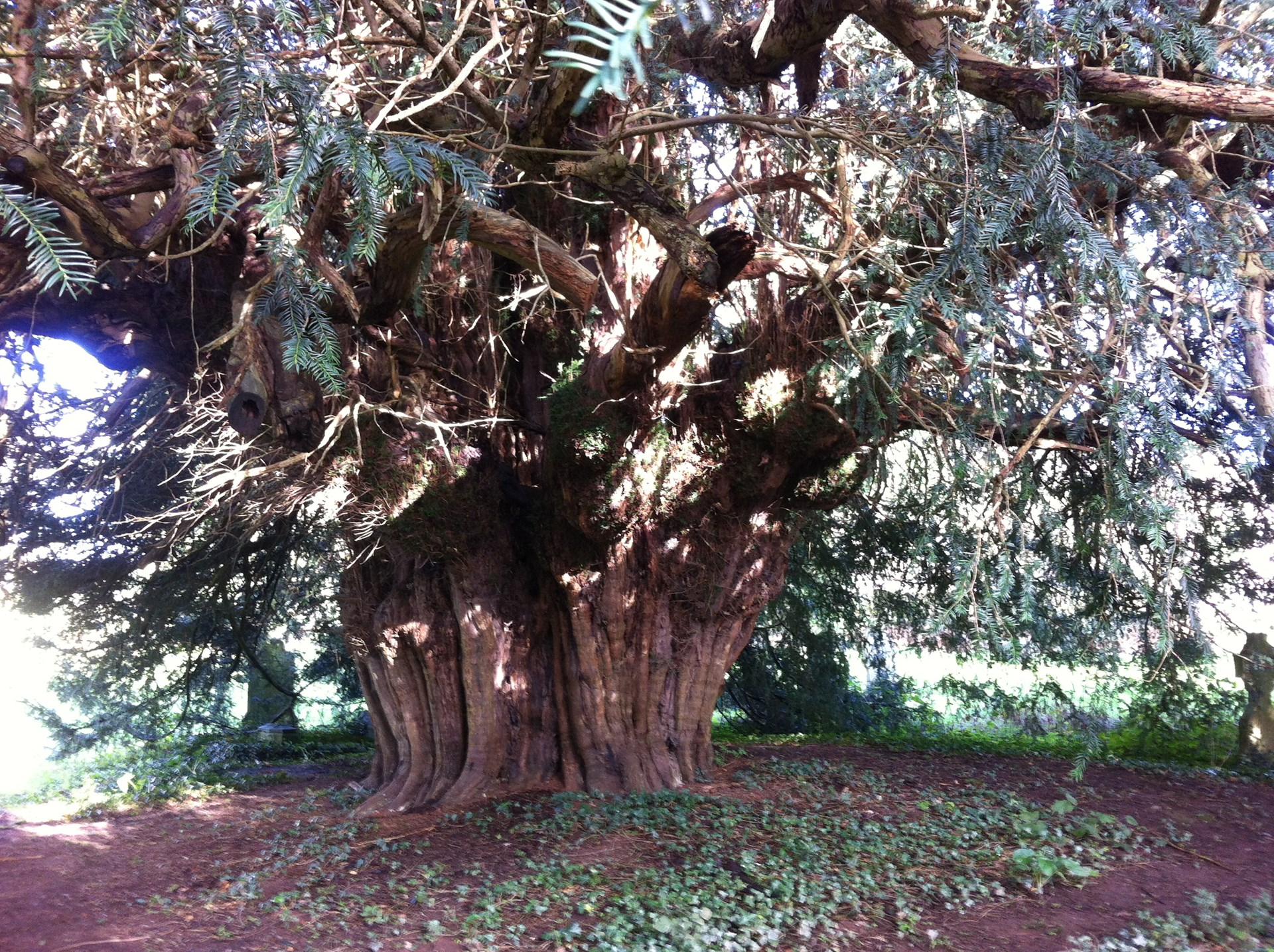 One of Four Ancient Yew Trees