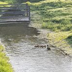 Duck and ducklings on River Swift