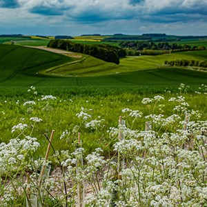 Cow Parsley View - James Whatley