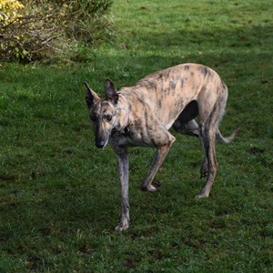 Greyhound Trust Shropshire & Borders Ellie