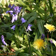 Bluebells and dandelions in the garden