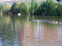 Ducks on Bredgar pond