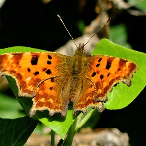 Comma on Ivy - Claire Whatley