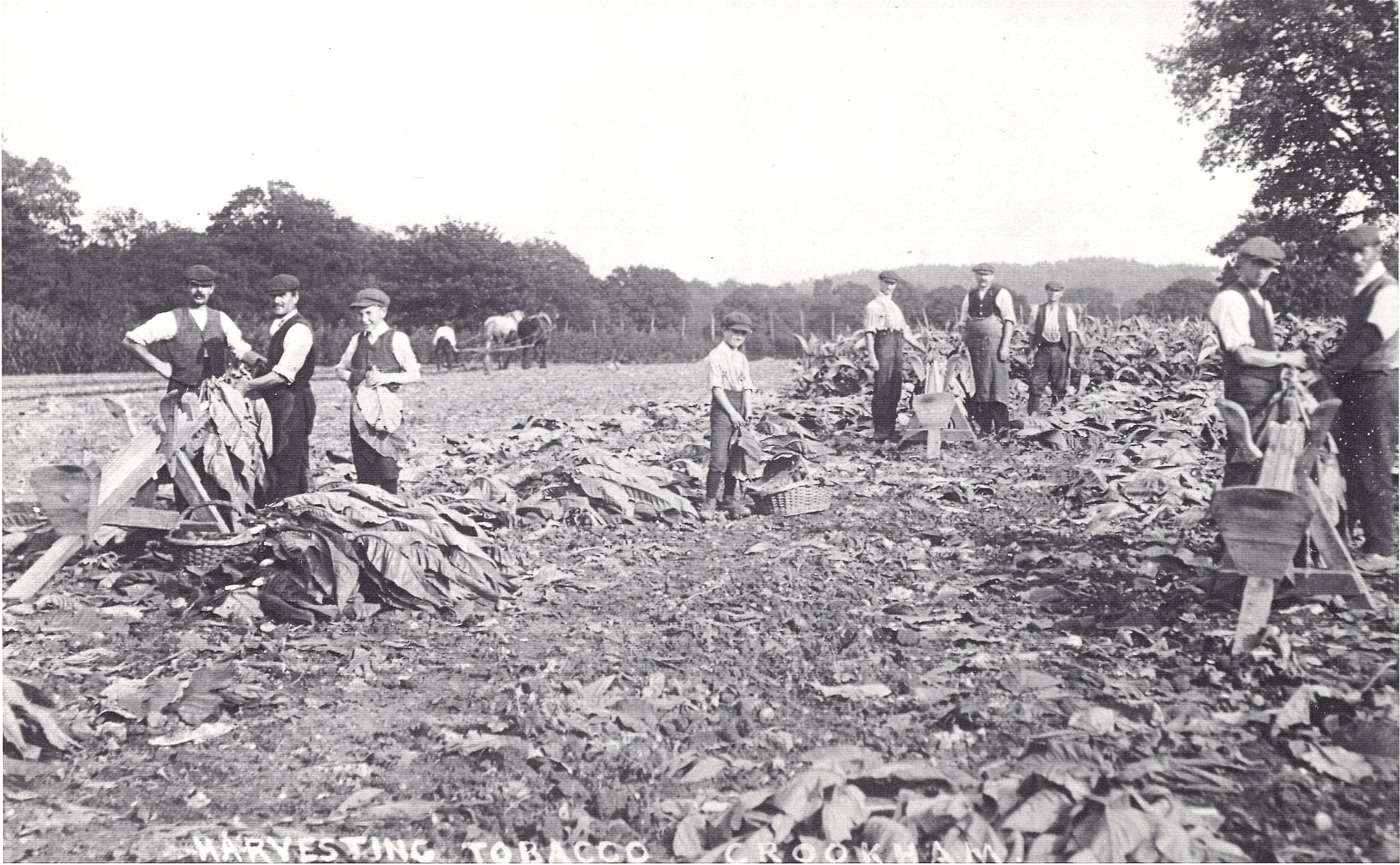 Harvesting tobacco at Redfields