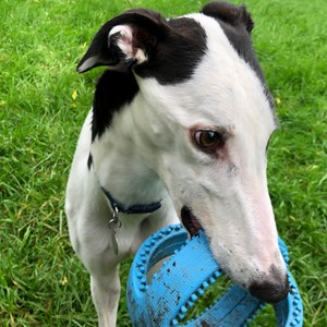 Greyhound Trust Shropshire & Borders Some of the Greyhounds homed in 2021