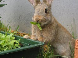 Rabbit eating leaves