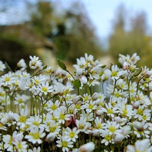 Common Whitlowgrass - Claire Whatley