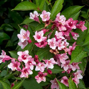 Weigela in flower