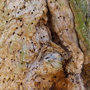 Tree with woodworm