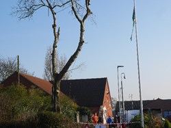 Collingham White Poplar Felled at Village Centre