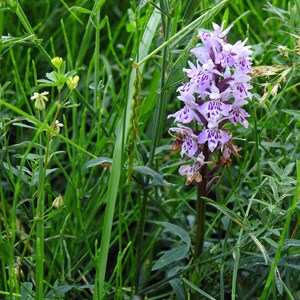 Cemetery Common Spotted Orchid