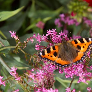 Small Tortoiseshell butterfly enjoying the garden