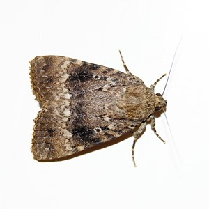 Common Moth