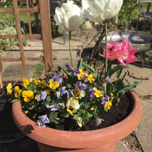 Valerie: Pansies and tulips in the morning sunshine.