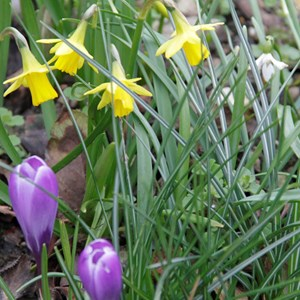 Crocus and Daffodils blooming together in March