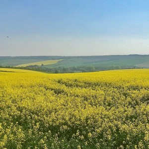 Rapeseed Fields of Stapleford - Mike Riding