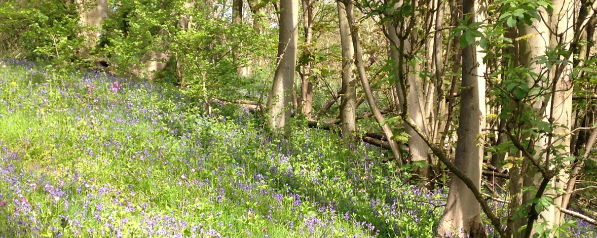 Bluebells in Fitz Wood