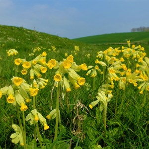 Cowslip Time in Berwick - Claire Whatley