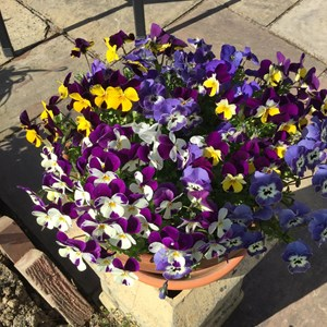 John Audsley: Pansies - I received some rather sad looking little plants from a visitor last November, but I'm glad to say they flowered through the winter and are now thriving.