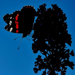 Profile of a Red Admiral - James Whatley