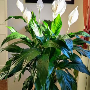 Gerry Kemsley: Spathiphyllum (Peace Lily, or Sail Plant) - This is the most flowers I have ever had on this plant at any one time!