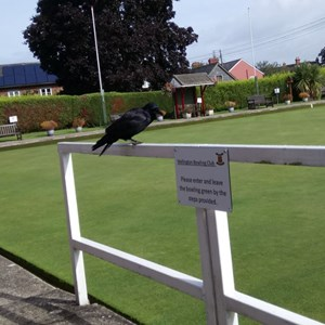 Local celebrity crow, Pudding, took time out of his busy schedule to pop into the club today to watch the Open final.