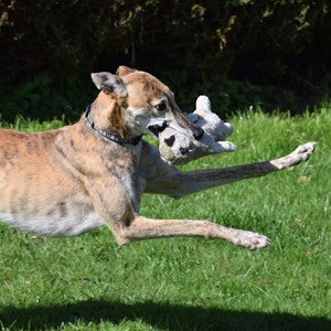 Greyhound Trust Shropshire & Borders Desi needs a home!
