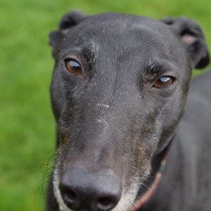 Greyhound Trust Shropshire & Borders Rupert