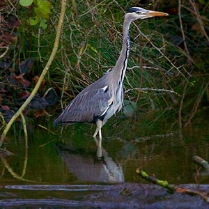 Heron at County Brook