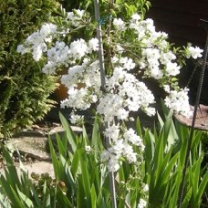 Elaine Burford: Exochorda - The Bride, comes into flower for the first time. Bought several years ago with winnings from one of the Spring Shows.