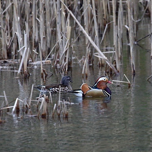 Male and Female Mandarin Ducks