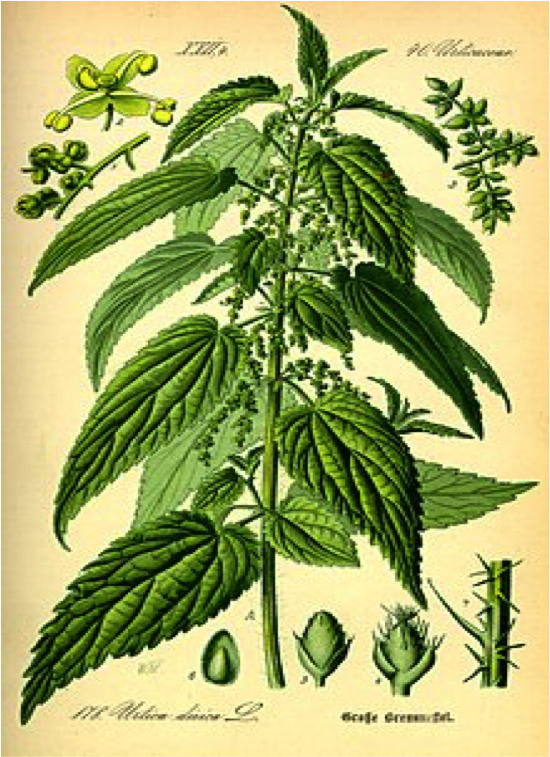 NETTLES  Love or loathe them -  but leave them