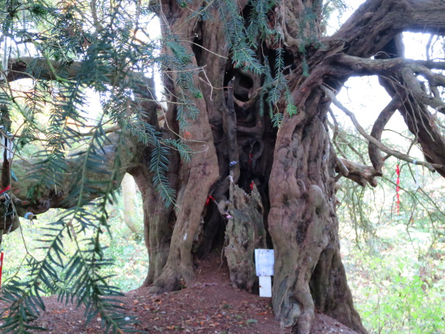 If our ancient yew is over 1600 years old then it would pre-date the church by a long stretch.