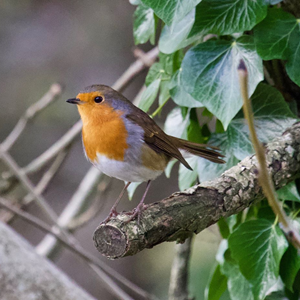 Robin, Cross Lane, Salterforth