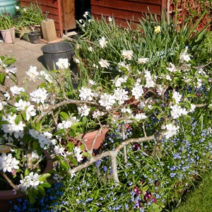 Elaine Burford: Step-over Apple Tree - Preparing its entries for the 'Dessert Apples' class in the Autumn Show.