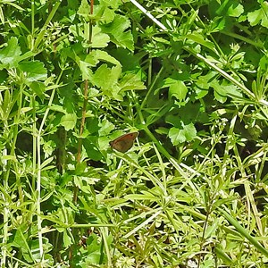 Caldbec Hill, female Meadow Brown Butterfly