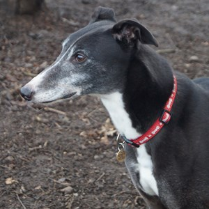 Greyhound Trust Shropshire & Borders Leroy