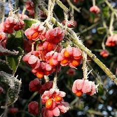 Spindle fruit in frost