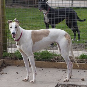 Greyhound Trust Shropshire & Borders Lillian