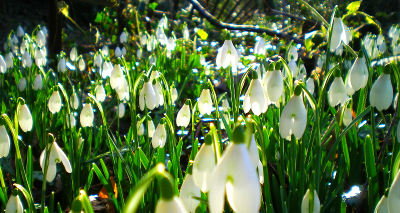 Cound Parish Council Snowdrops